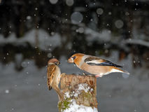 Hawfinch and Sparrow Christmas Meeting Royalty Free Stock Image
