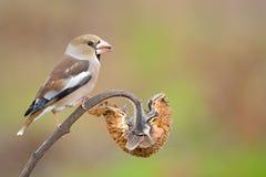 Hawfinch sul girasole Immagine Stock