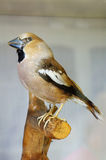 Hawfinch taxidermy Royalty Free Stock Photos