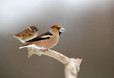 Hawfinch with Tree Sparrow. The picture was taken in Hungary Stock Photos