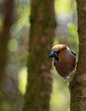 Hawfinch, varón en el árbol, vertical Imágenes de archivo libres de regalías