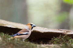 Hawfinch at water front Royalty Free Stock Photos