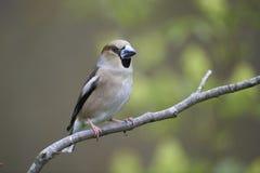 Hawfinch, wijfje Royalty-vrije Stock Fotografie