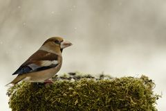 Hawfinch at the winter feeder on a beautiful background Stock Photography