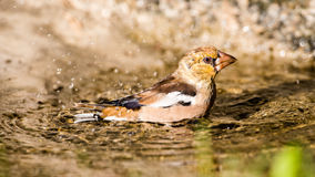 Hawfinch's bath Stock Photography