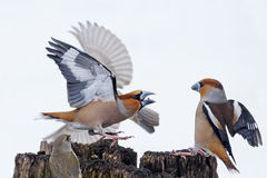 Hawfinches battle stock photography