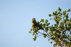 Hawfinchkvinnlig Royaltyfria Foton