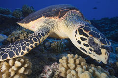 HAWHBILL海龟/玳瑁imbricata 图库摄影