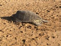 Hawiian Zielony żółw Zdjęcia Royalty Free