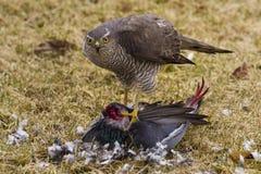 hawk голодное Стоковое Изображение RF