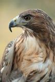hawk красный кабель Стоковая Фотография RF