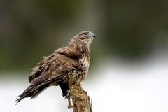 Hawk сидеть на елевой ветви в зимнем времени Стоковые Изображения RF