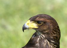 Hawk 07 Royalty Free Stock Images