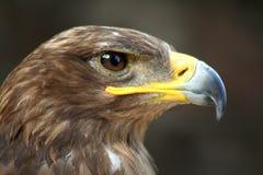 hawk fotografia royalty free