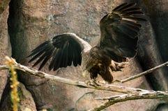 hawk Fotografie Stock Libere da Diritti