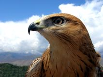 Hawk Royalty Free Stock Image