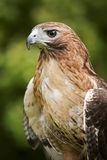 Hawk. Close up of a Red Tailed Hawk  Buteo jamaicensis Stock Photography