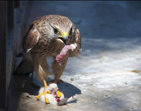 Hawk. Eats dead mouse in the zoo stock photos