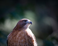 Hawk. Close up of a hawk a bird of prey Royalty Free Stock Photography