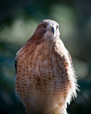 Hawk. Close up of a hawk a bird of prey Royalty Free Stock Image