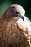 Hawk. Close up of a hawk a bird of prey Stock Image