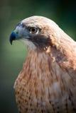 Hawk. Close up of a hawk a bird of prey Stock Photo