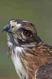 Hawk Royalty Free Stock Photo
