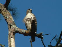 Hawk. The Red-tailed Hawk (Buteo jamaicensis) is a bird  known in the United States as the chickenhawk Stock Images