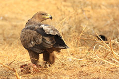 Hawk. A hawk is staring and standing Stock Images