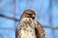 Hawk. Broad winged hawk perched in a tree.  Species:  Buteo platypterus Stock Image