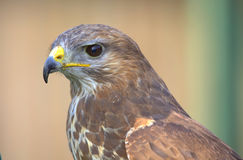 Hawk. Close up portrait of a hunting bird Stock Photography