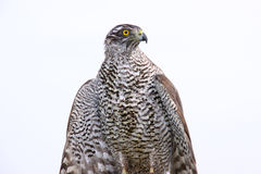 Hawk. Royalty Free Stock Image