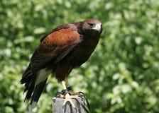 Hawk 2. Harris Hawk looking for prey royalty free stock photos