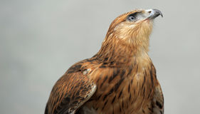 Hawk Stock Image