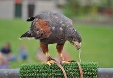 Hawk. A hawk eating a worm Stock Photo
