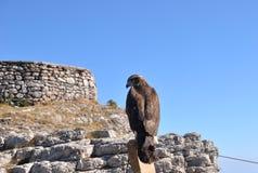 Hawk. Sitting on the fence mining settlement on the summit of Mount Ai-Petri Stock Image