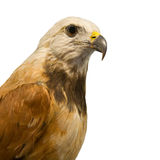 Hawk. Isolated photo of a hawk head Royalty Free Stock Images