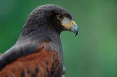 Hawk Stock Photo