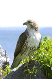 Hawk. Close up of a hawk with ocean background Royalty Free Stock Image