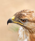 Hawk. Close-up of Red-Tailed Hawk in aviary royalty free stock image