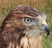 Hawk. Close up shot of a hawk Stock Images