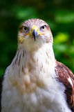Hawk. Beautiful Bald Eagle Close-up Royalty Free Stock Photography