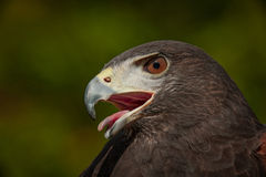 The Hawk royalty free stock photos
