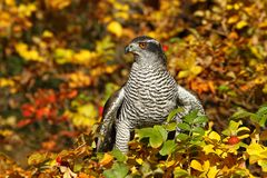 Hawk Royalty Free Stock Photo