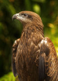 The Hawk Royalty Free Stock Images
