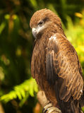 The Hawk Stock Images