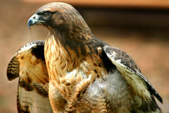 Hawk -3. Red tail hawk Royalty Free Stock Image