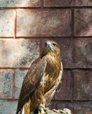 hawk Fotografia Royalty Free