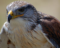 Hawk. Close-up portrait of a Hawk with a tan backgroung Royalty Free Stock Photo