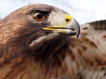 Free Hawk Royalty Free Stock Photo - 33847425